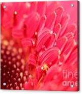 Germini Daisy Acrylic Print