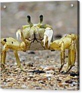 Ghost Crab Acrylic Print