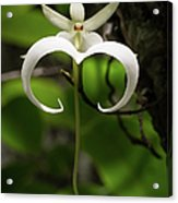 Ghost Orchid 2 Acrylic Print