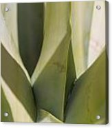 Giant Agave Abstract 7 Acrylic Print