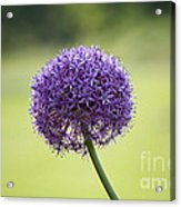 Giant Allium Flower Acrylic Print