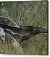 Giant Anteater And  Young In Cerrado Acrylic Print