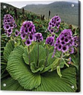 Giant Daisy In Full Bloom Campbell Acrylic Print