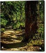 Giant Douglas Fir Trees Collection 2 Acrylic Print