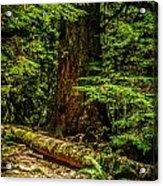 Giant Douglas Fir Trees Collection 3 Acrylic Print