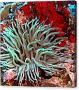 Giant Green Sea Anemone Against Red Coral Acrylic Print