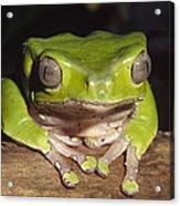 Giant Monkey Frog  Venezuela Acrylic Print