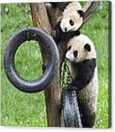 Giant Panda Cubs Acrylic Print