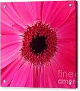 Flower Photography - Giant Pink Gerbera Daisy Acrylic Print