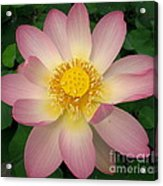 Giant Pink Lotus Acrylic Print