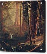 Giant Redwood Trees Of California Acrylic Print