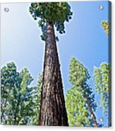 Giant Sequoia In Mariposa Grove In Yosemite National Park-california  Acrylic Print
