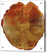 Giant Sequoia Section Acrylic Print