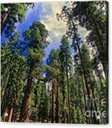 giant sequoias sequoiadendron gigantium yosemite NP Acrylic Print