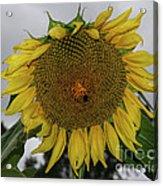 Giant Sunflower Acrylic Print