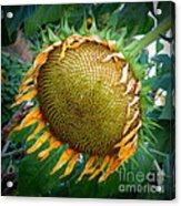 Giant Sunflower Drama Acrylic Print