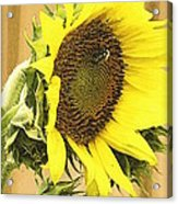 Giant Sunflower With Buds Acrylic Print