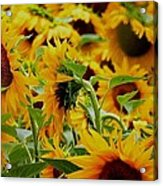 Giant Sunflowers Acrylic Print