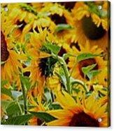 Giant Sunflowers Acrylic Print