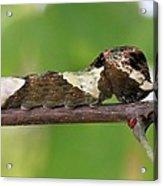 Giant Swallowtail Caterpillar Acrylic Print