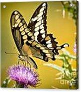 Giant Swallowtail On Thistle Acrylic Print