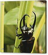 Giant Three-horned Beetle Acrylic Print