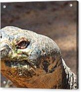 Giant Tortoise Acrylic Print