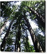 Giants Of The Forest Acrylic Print