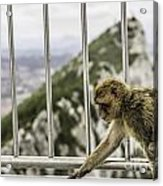 Gibraltar Monkey Acrylic Print by Stefano Piccini