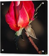 Gift Of Love Acrylic Print by Billie Colson