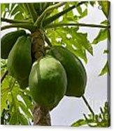 Gigantic Papaya Acrylic Print
