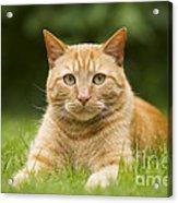 Ginger Cat In Garden Acrylic Print