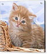 Ginger Kitten In Basket Acrylic Print