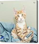 Ginger Kitten Standing In A Basket Acrylic Print