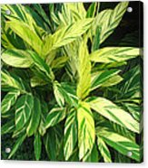 Ginger Lily. Alpinia Zerumbet Acrylic Print