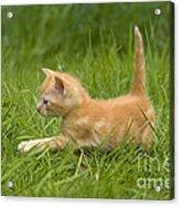 Ginger Tabby Kitten Acrylic Print