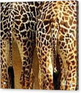 Giraffe Butts 1 Acrylic Print