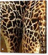 Giraffe Butts 2 Acrylic Print