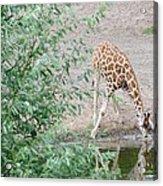 Giraffe Drinking Acrylic Print