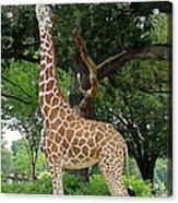 Giraffe Eats-09053 Acrylic Print