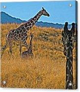 Giraffe Family In Living Desert Museum In Palm Desert-california Acrylic Print