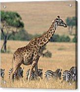 Giraffe Giraffa Camelopardalis Acrylic Print