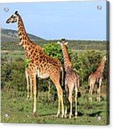 Giraffe Group On The Masai Mara Acrylic Print