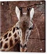 Giraffe Head Acrylic Print