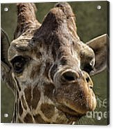 Giraffe Hey Are You Looking At Me Acrylic Print