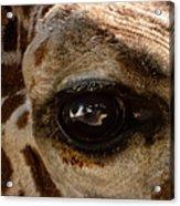 Giraffe Look Into My Eye Acrylic Print