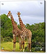 Giraffe Males Before The Storm Acrylic Print