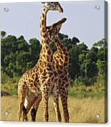 Giraffe Males Sparring Masai Mara Kenya Acrylic Print