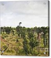 Giraffe Panorama Acrylic Print