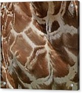Giraffe Patterns Acrylic Print